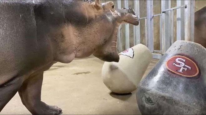 Fiona the Hippo Make Super Bowl Picks